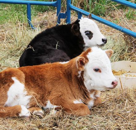 5blog-calves