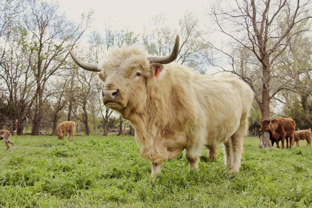 cattle 13 scottish highland bull 2