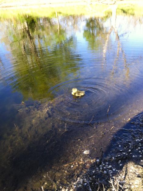 Jack 9 gosling in water