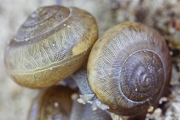 snail 9 shells