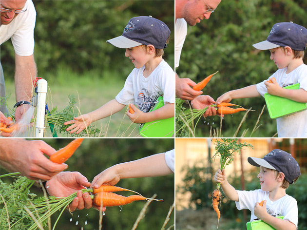 picking-carrots-with-dad