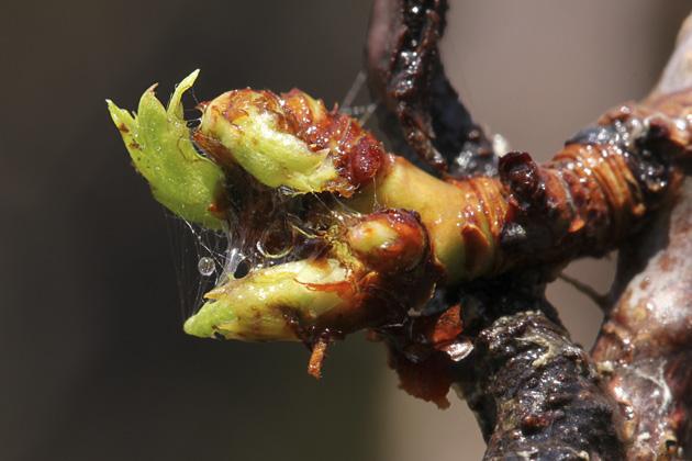 raindrop caught in buds