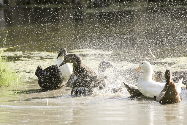 duck big splash