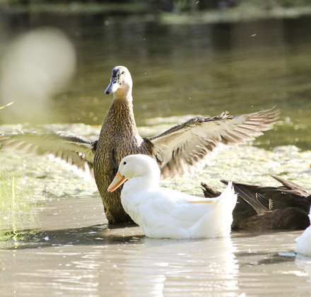 duck mallard wings over white duck