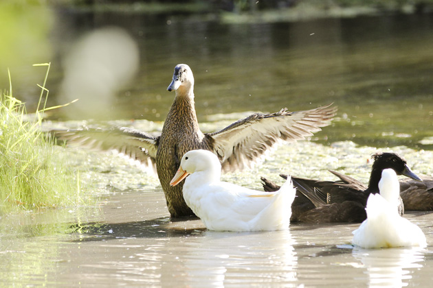 duck mallard wings over white duck