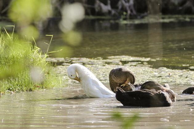 ducks preen