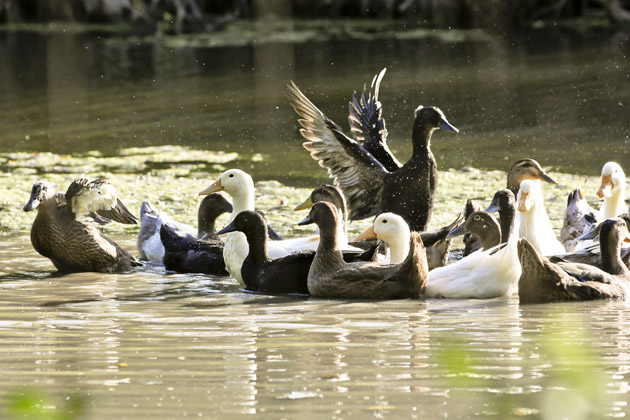 ducks tuft wings