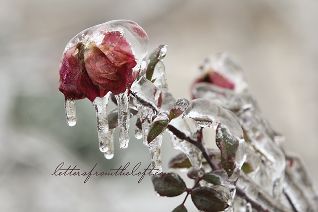 ice storm 10 thaw heart rose