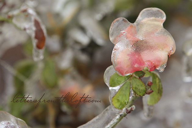ice storm 11 true 2 rose