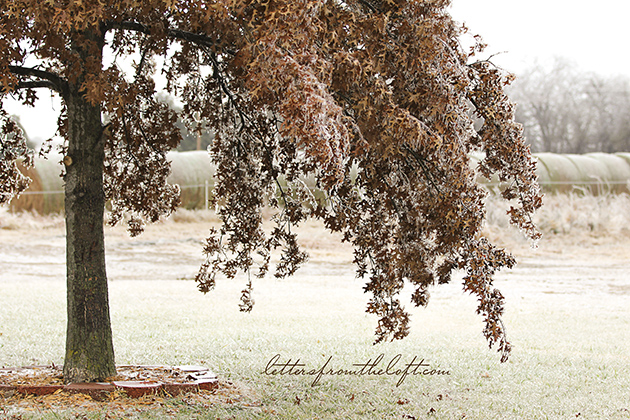 ice storm 6 tree w hay bales