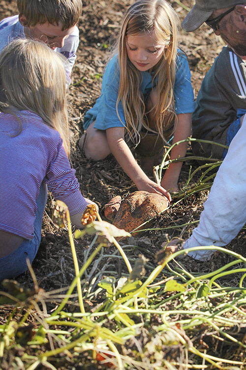 potatoes 6 digging together