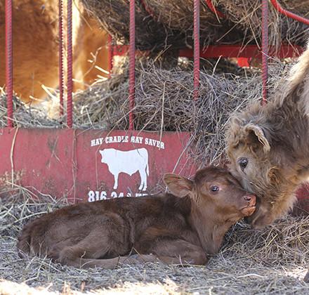 farm calf 1