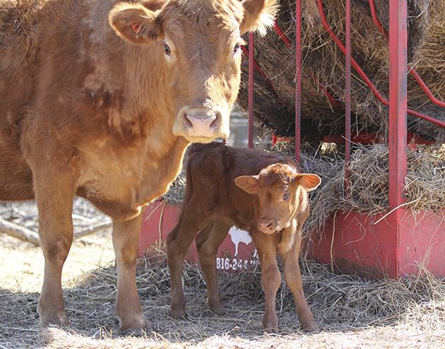 farm calf 2
