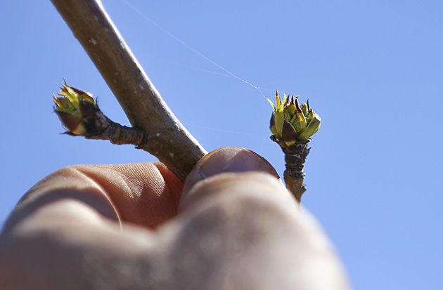 farm pear buds