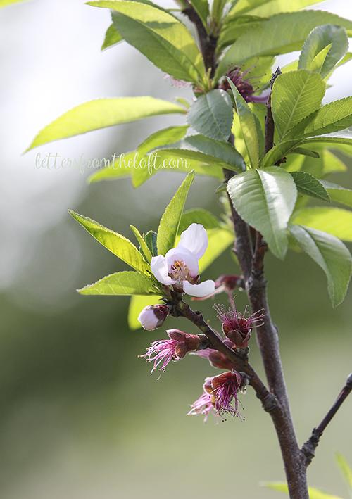blog peach blossom 2
