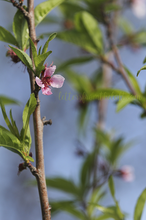 blog peach blossoms 1